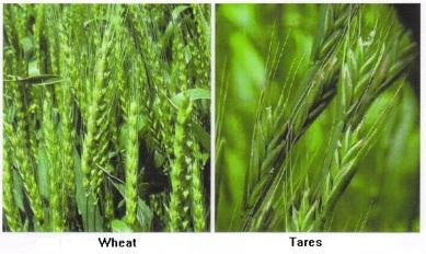 wheat-vs-tares
