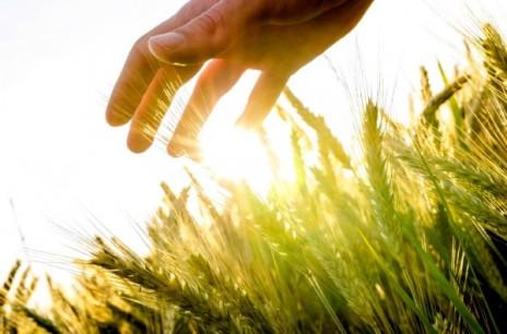 Hand-Wheat